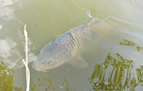蓮池にいた鯉